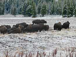 Bison Herde bei warmer Quelle