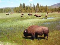 Wildtiere im Yellowstone
