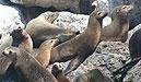 Monterey Seehunde