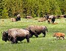 Bison- und Wapitiherde