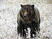 Braunbär im Yellowstone bei frühem Wintereinbruch