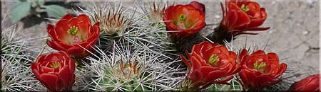 cactus-in-bloom