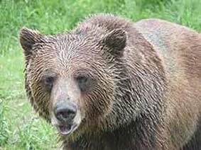 Begegnung mit seltenen Tieren wie Grizzly Bär und Bighorn Sheep