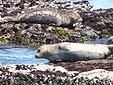 Seehunde Monterey