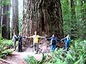 Redwood Giganten Bäume Kalifornien