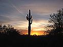 Saguaro Kaktus, Sonora Wüste