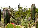 Vielfalt in der Sonora Wüste