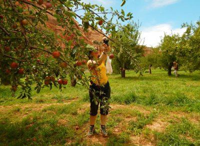 Obst pflücken im Apfelgarten in Fruita